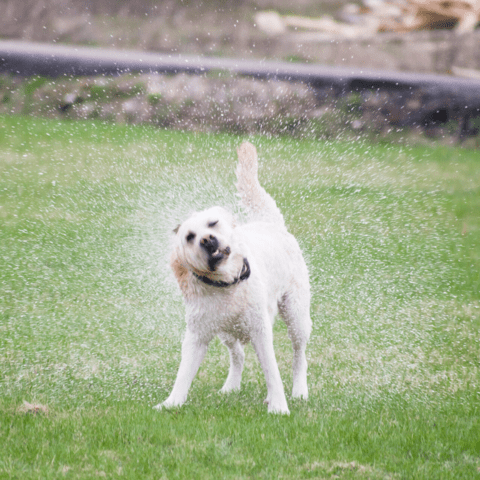 Dog playing in water to keep cool