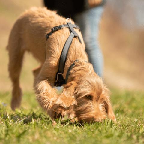 sniffari sniff enrichment walks for dogs