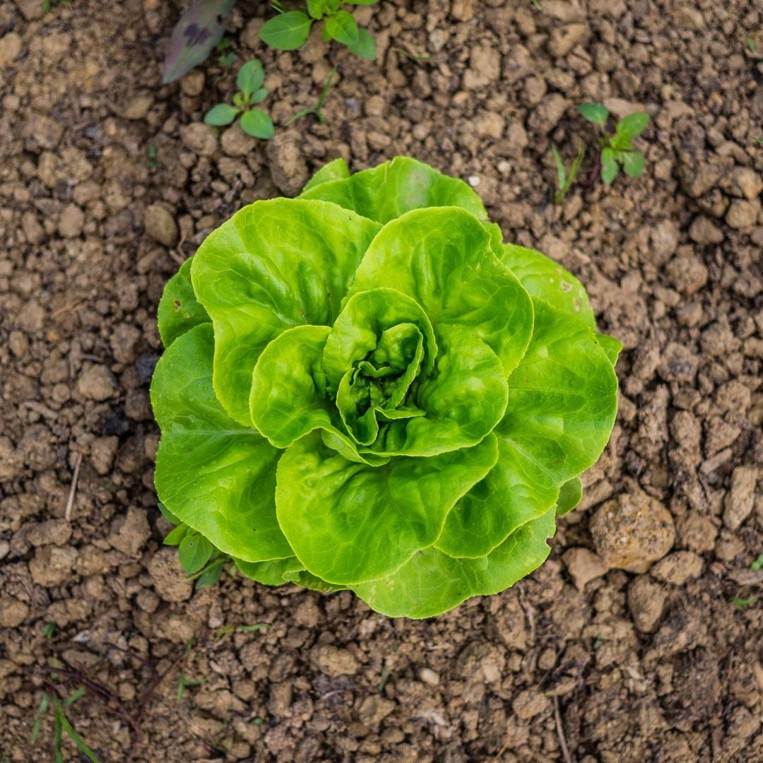 Lettuce learn about lettuce