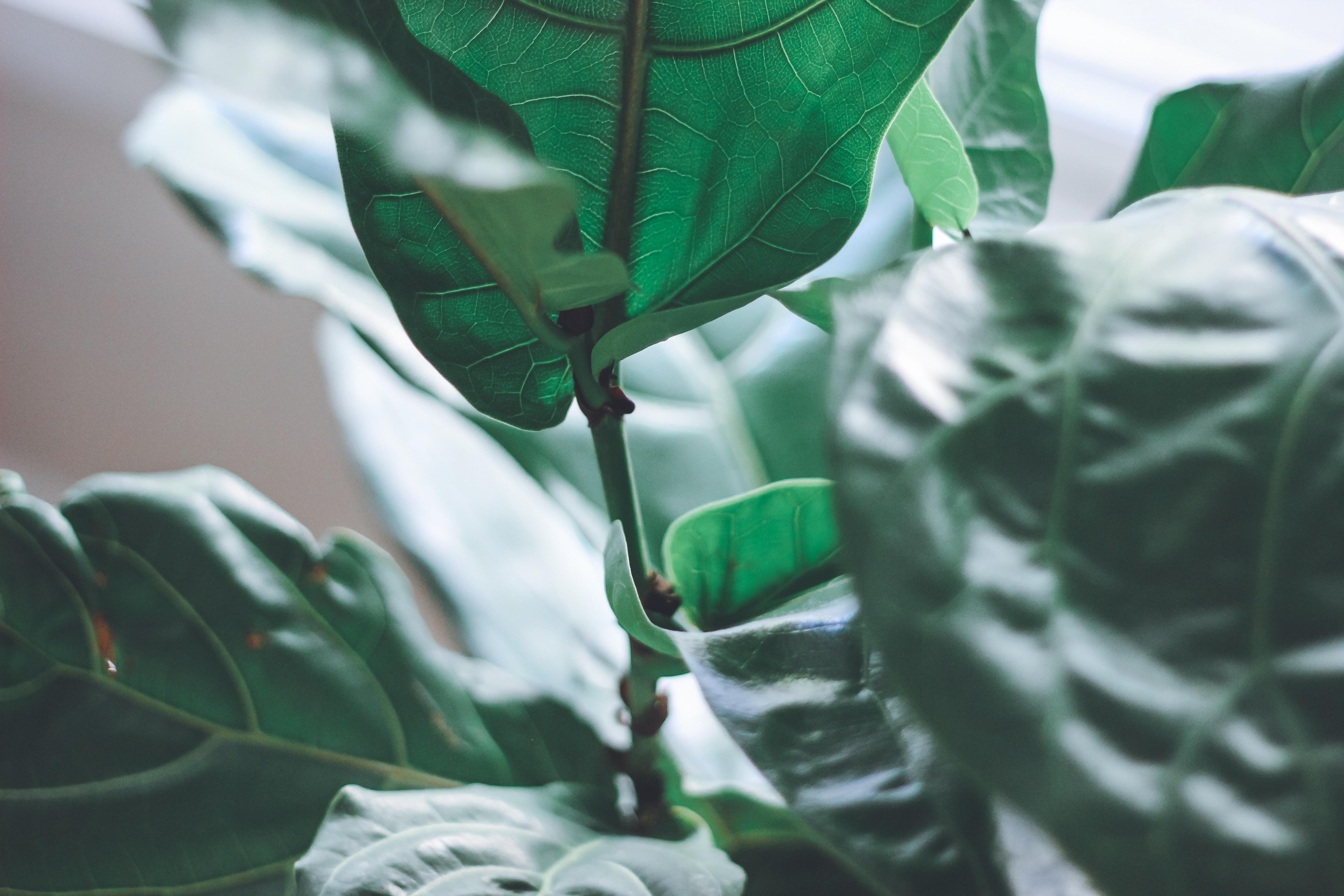 The Ficus Lyrata