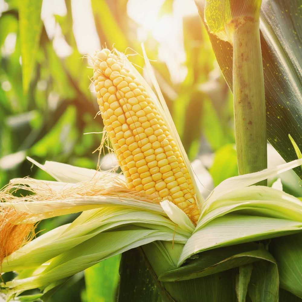 The Dominion of Corn